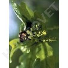 Bachbloesem Remedies voor dieren - Oak nr 22